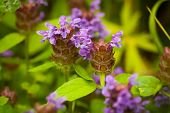 Beautiful Meadow Flowers Prunella Vulgaris Grow On Sunny Summer Meadow Close Up. poster