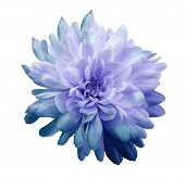 Chrysanthemum  Blue-violet. Flower On  Isolated  White Background With Clipping Path Without Shadows poster