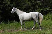 Gray Holstein stallion