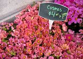 Cosmos For Sale