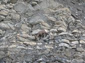 Young Bighorn Sheep On A Cliff  Jasper National Park Alberta Canada