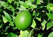 Growing Lime