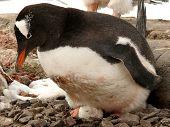 Gentoo Penguin On Egg