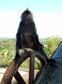 Silver Back Monkey In Kuala Selangor Malaysia poster
