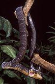 Blandings Tree Snake