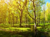 Spring Forest Landscape - Bright Green Spring Forest Trees And Flooded Forest Glade Under Soft Sprin poster