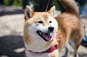 Adorable Akita Inu Puppy Dog poster