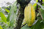 Yellow Pod Of Arriba Cacao In Ecuador