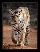 Tigress Maya From Tadoba Andhari Tiger Reserve From Maharashtra, India poster