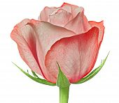 A Red Rose Flower Isolated On A White  Background. Close-up. Flower Bud On A Green Stem With Leaves. poster