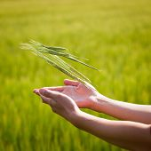 Symbolic gesture suggesting fertility, plenitude, health. Woman hands holding unripe barley ears in