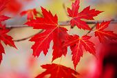 Branch With Red Maple Leaves. Canada Day Maple Leaves Background. Falling Red Leaves For Canada Day  poster