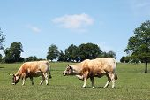Grazing Aubrac Beef Cows