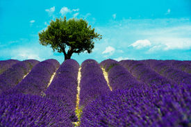 stock photo of lavender field  - Valensole - JPG