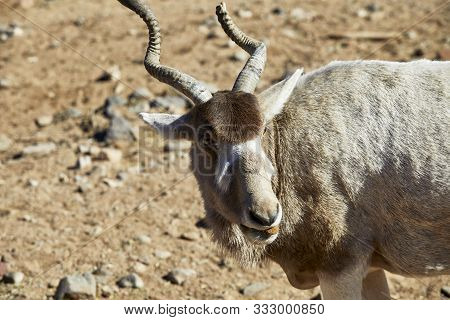 poster of Close Up Of An Addax Antelope With A Broken Horn, An Endangered Species Also Known As White Antelope