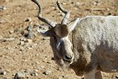 Close Up Of An Addax Antelope With A Broken Horn, An Endangered Species Also Known As White Antelope poster