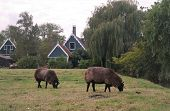 Sheep Nibble Grass In The Pasture On The Background Of Houses, Rural Landscape poster