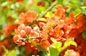 Japanese Quince (Chaenomeles) Shrub In Flower