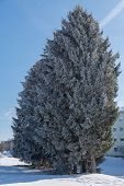 Cold Winter Day Shows With Hoarfrost On Coniferous Trees - Clinking Cold poster