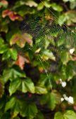 Wet Spider Web In Autumn