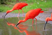 stock photo of scarlet ibis  - A Scarlet ibis  - JPG