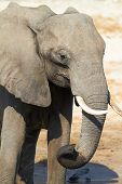 picture of veld  - A herd of African elephants  - JPG