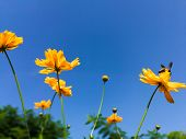 Cosmos Flower Field With Blue Sky,cosmos Flower Field Blooming Spring Flowers Season poster