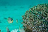 Damsel Fish Stare Down