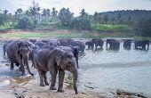 Pinnawala/ Sri Lanka: August 03- 2019: Asian Elephants Walking In A River Near The Village Of Pinnaw poster
