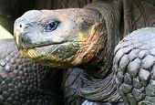 Close Up Giant Galapagos Tortoise