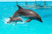 A Charming Dolphin Baby Swims With His Mom Dolphin In Pool. Two Dolphins Enjoing Together. Dolphin W poster