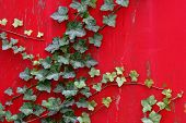 pic of english ivy  - Young English Ivy creeps up old wooden wall on house - JPG