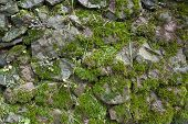Moss-grown Big Stone Wall. Wall Background With Green Moss. Closeup poster