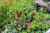 Wild Berry Cranberries Vaccinium Vitis Idaea. Ripe Wild Lingonberries. Wild Berry Cranberries. Lingo poster