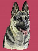 Colorful German Shepherd Vector Hand Drawing Portrait. Isolated Vector Illustration On Maroon Backgr poster
