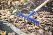 Harvesting Leaves With A Rake. Dry Leaves Are Collected In The Fall. Garden Tools For Cleaning The A poster