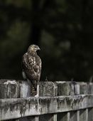Red-tailed Hawk (buteo Jamaicensis) On A Weathered Wooden Fence With Out-of-focus Forest Background. poster