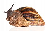 Giant African Snail Crawling