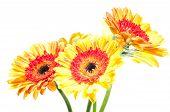 Five Orange Yellow Gerbera Flower Close Up
