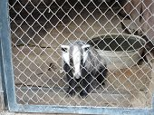Badger In Captivity In A Cage In Zoo poster