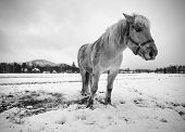 Nice White Horse In Fresh First Snow. Snowy Pasture  At Mountain Farm.  Wet Snow In Cloudy Cold Weat poster