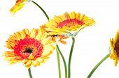 Orange Yellow Gerbera Flowers
