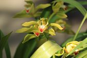 Yellow Orchid , Cymbidium