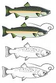 Chum Salmon Fish