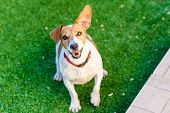 Dog Playing Outside Smiles. Jack Russel Terrier Pet Looking At The Camera. Close-up Of A Young Dog P poster