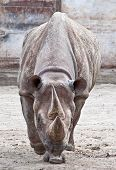Rhino Living In Captivity In Zoological Garden poster
