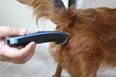 Trim The Fur On The Bottom Of The Chihuahua Dog For Cleanliness And Hygiene. The Veterinarian Is Cut poster