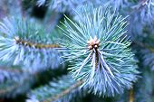Spruce Branch With Sharp Spruce Needles On Background Of Other Spruce Branches As Christmas Backgrou poster