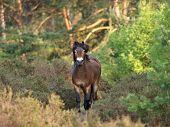 Wild Exmoor Pony