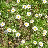 stock photo of angiosperms  - Common daisy Bellis Perennis Plantae Angiosperms Eudicots Asterids Asterales Asteraceae - JPG